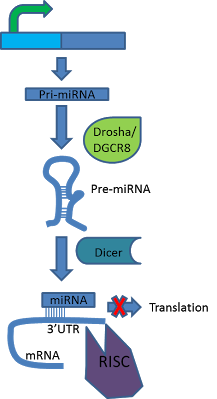 miRNA mechanism.png